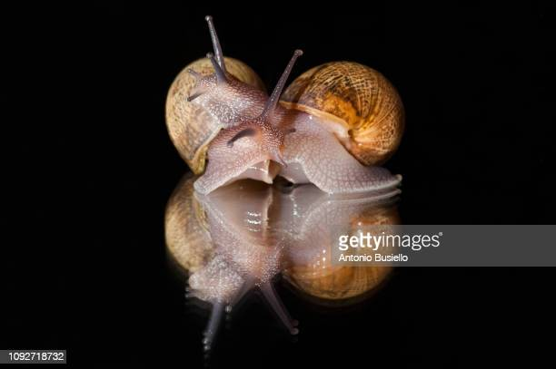 studio shot of snails out of shell carrying each other - garden snail stock photos and pictures