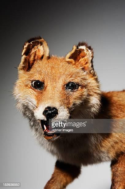 Studio shot of stuffed fox