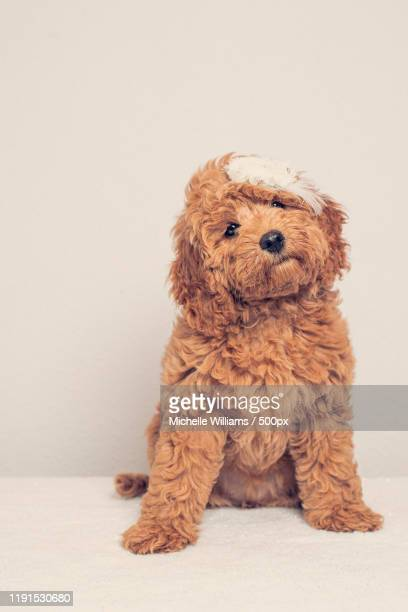 studio shot of three month old cockapoo puppy - cockapoo stock pictures, royalty-free photos & images