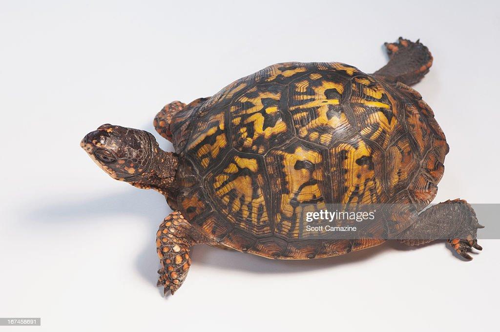 Studio shot of turtle : Stock Photo