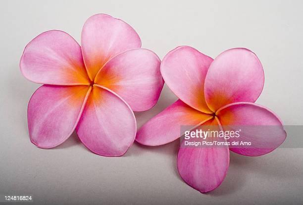 Studio shot of two pink plumerias on white background.