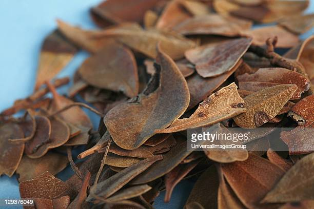 Studio shot of Uva Ursi closeup Uva Ursi leaves which contain the glycoside arbutin have been used for urinary tract complaints including cystitis...