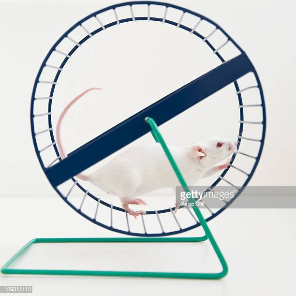 Studio shot of white mouse in exercise wheel