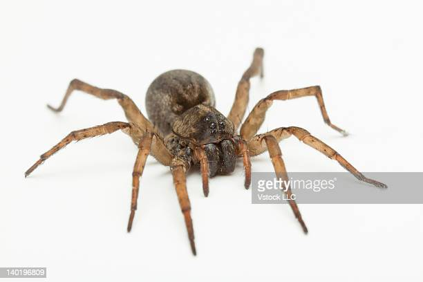 studio shot of wolf spider (hogna carolinensis) - ugly spiders stock photos and pictures