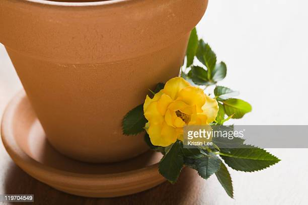 Studio shot of yellow rose and flower pot