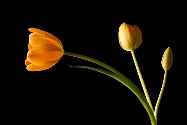Studio shot of yellow tulips