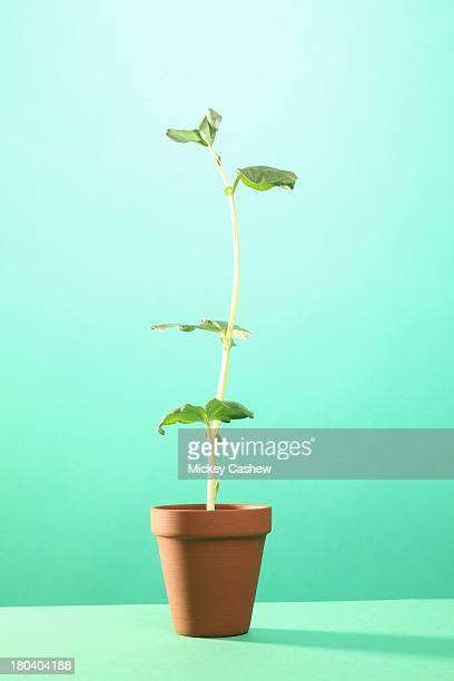 Studio shot of young broad bean plant in terracotta pot