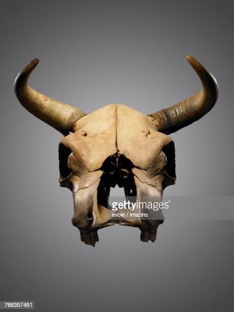 Studio shot, water buffalo, skull