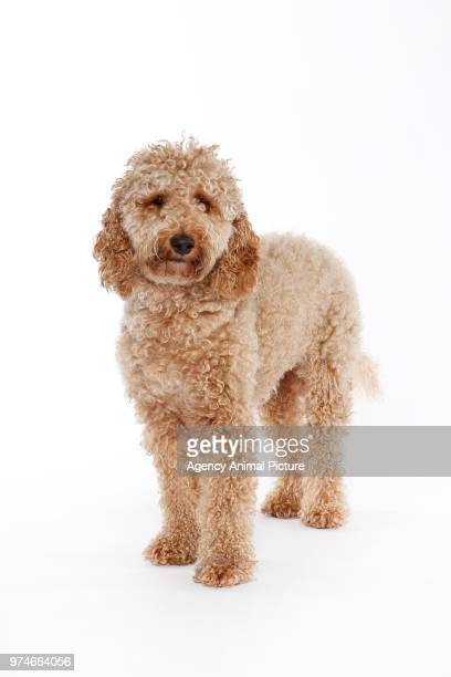 studio shots of a labradoodle - labradoodle stock photos and pictures