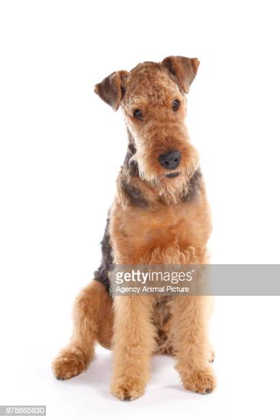 Studioaufnahme Airedale Terrier