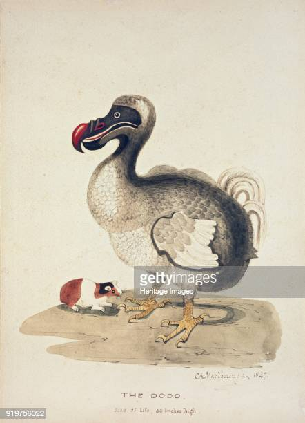 Study of a Dodo and a Guineapig 1847 Artist Charlotte Augusta SpencerChurchill