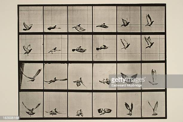 Study of motion by Eadward Muybridge showing a pigeon flying taken between 1884 and 1887