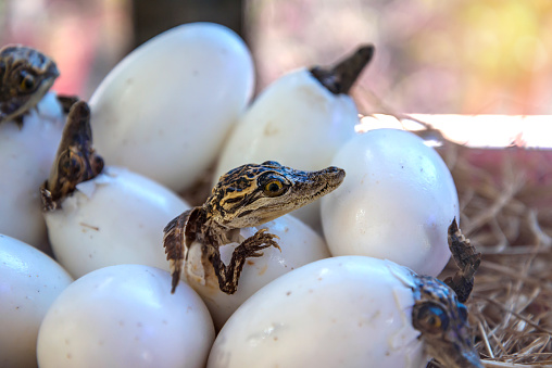stuff of Little baby crocodiles are hatching from eggs 530825560
