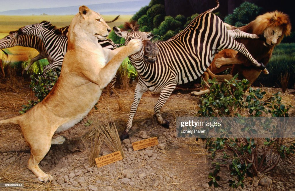 Stuffed African Animal Exhibit With Pride Of Lions Attacking Zebra Cabelas Store Village West Area