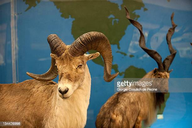 A stuffed argali and markhor are displayed during the press preview of the exhibition 'The Art of Taxidermy' at a zoological museum on December 1...