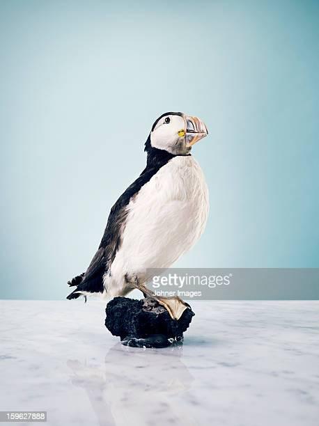 Stuffed Atlantic puffin