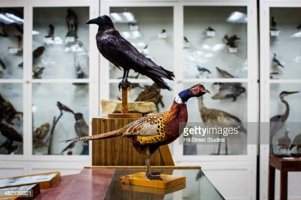 stuffed birds in natural history museum - zoology stock pictures, royalty-free photos & images