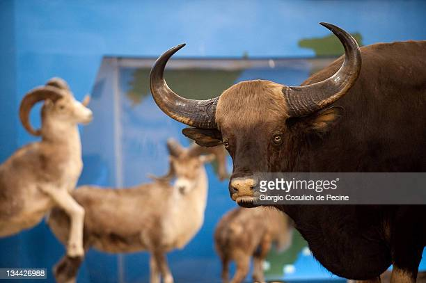 A stuffed buffalo is displayed during the press preview of the exhibition 'The Art of Taxidermy' at a zoological museum on December 1 2011 in Rome...