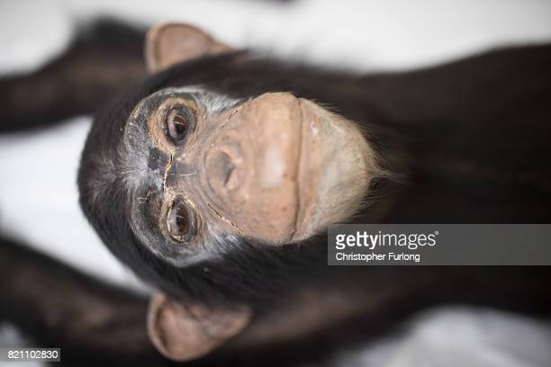 A stuffed chimpanzee which over 100 years old sits in the laboratory of Natural History Conservator Lucie Mascord of Lancashire Conservation Studios...