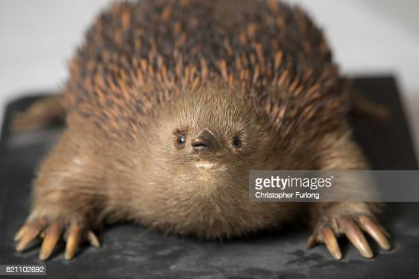 A stuffed echidna sits in the laboratory of Natural History Conservator Lucie Mascord of Lancashire Conservation Studios as part of a the major...