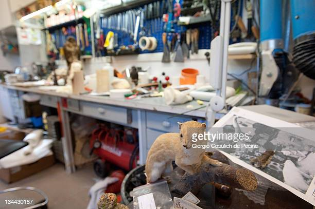 A stuffed ferret is displayed in the taxidermy laboratory during the press preview of the exhibition 'The Art of Taxidermy' at a zoological museum on...