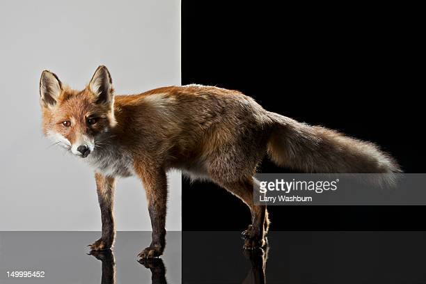 a stuffed fox - preserved stock pictures, royalty-free photos & images
