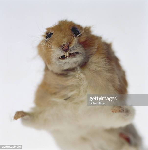 stuffed gerbil, close-up - gerbil - fotografias e filmes do acervo