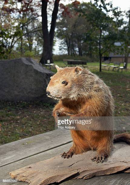 stuffed groundhog in park - funny groundhog stock photos and pictures