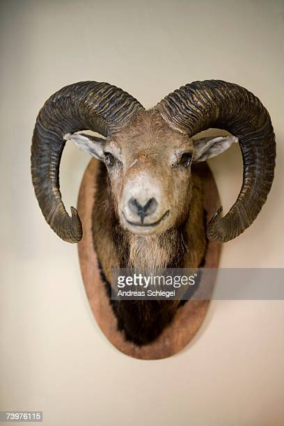 stuffed head of a bighorn sheep - ram animal stock photos and pictures