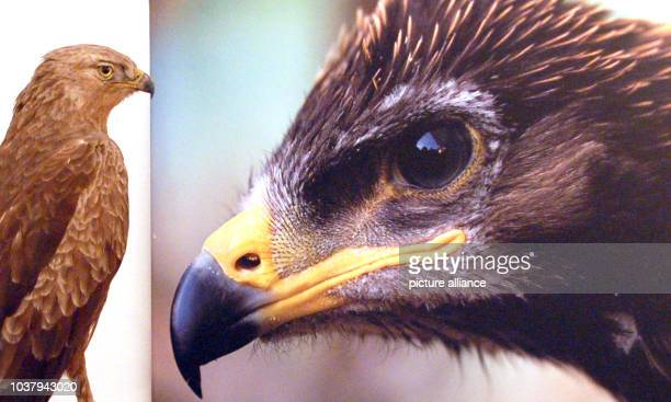 A stuffed lesser spotted eagle which is an endangered species on show at the Mueritzeum in Waren Germany 5 August 2015 The specimen is part of the...