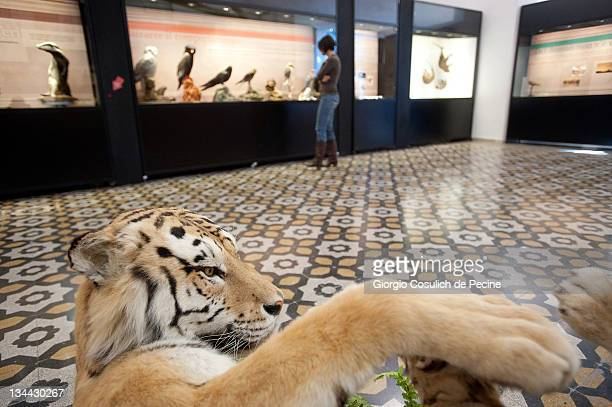 A stuffed tiger is displayed during the press preview of the exhibition 'The Art of Taxidermy' at a zoological museum on December 1 2011 in Rome...