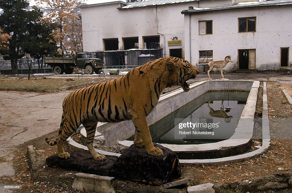 Stuffed tiger & ram still standing despi : News Photo