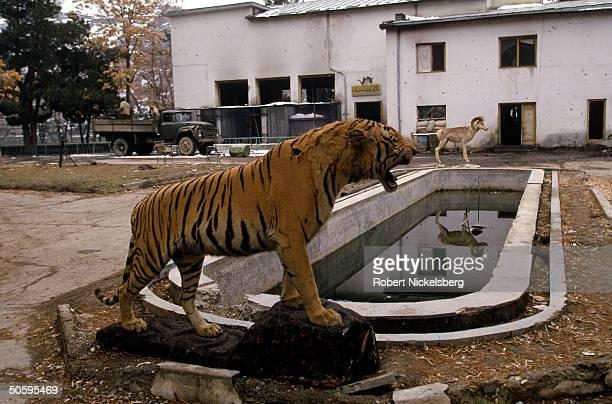 Stuffed tiger & ram still standing despite heavy fighting between Shia Hezb-i-Wahadat mujahedin faction & govt. In Dehmarzang area of S.W. Kabul,...