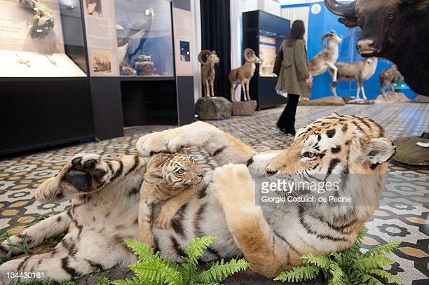 A stuffed tiger with her cub is displayed during the press preview of the exhibition 'The Art of Taxidermy' at a zoological museum on December 1 2011...