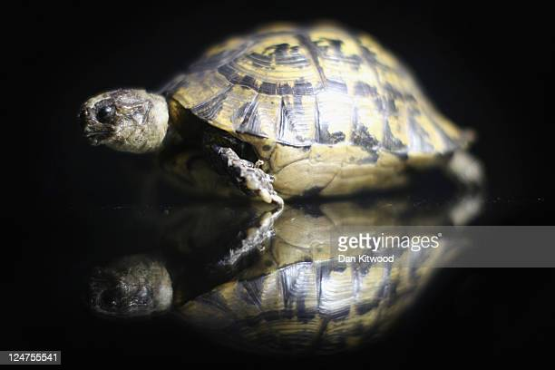 A stuffed tortoise is displayed at an 'Endangered Species' exhibition at London Zoo on September 12 2011 in London England The exhibition is...
