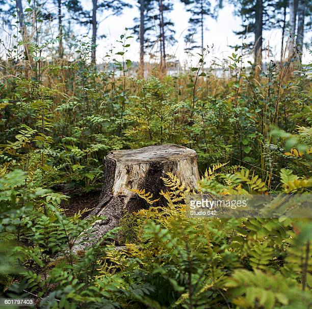 stump in fern plants growing in lush forest - tree stump stock pictures, royalty-free photos & images