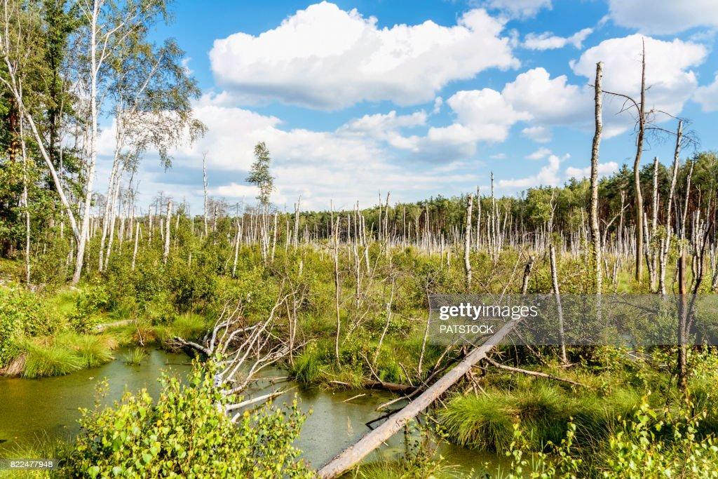 Stumps of dead birch trees : Stock Photo