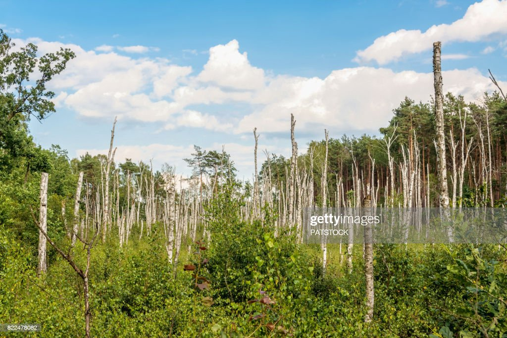 Stumps of dead birch trees : Bildbanksbilder