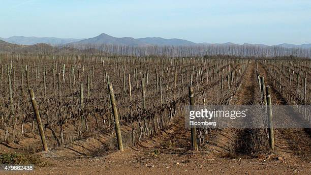Stumps of dried almond trees stand on a field near Ovalle Chile on Wednesday June 24 2015 Farmers in the oncefertile valleys of the Choapa and Limari...
