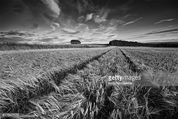 Stunning Black and White Landscape Photograph of Barley Field