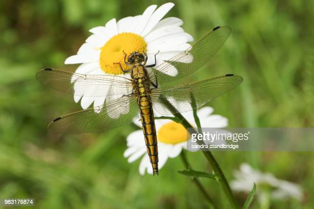 A stunning Black-tailed Skimmer (Orthetrum cancellatum) perching on  an ox-eye or dog daisy flower (Leucanthemum vulgare).