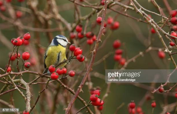 A stunning Blue Tit (Cyanistes caeruleus) perched on a dog rose bush eating the rose hips.