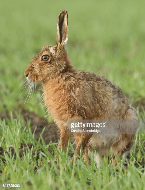 a stunning brown hare (lepus europaeus) in a crop field. - brown hare stock pictures, royalty-free photos & images