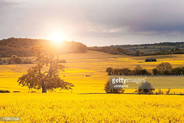 a stunning canola field with the sun gleaming down - hertfordshire stock pictures, royalty-free photos & images