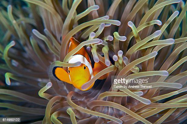 Stunning clownfish with anemone