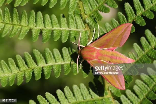 A stunning Elephant Hawk-moth (Deilephila elpenor) perching on fern.