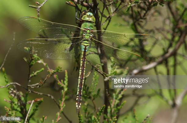 A stunning Emperor Dragonfly (Anax imperator) feeding on a Black-tailed Skimmer Dragonfly (Orthetrum cancellatum) whilst perching on a heather bush in woodland.