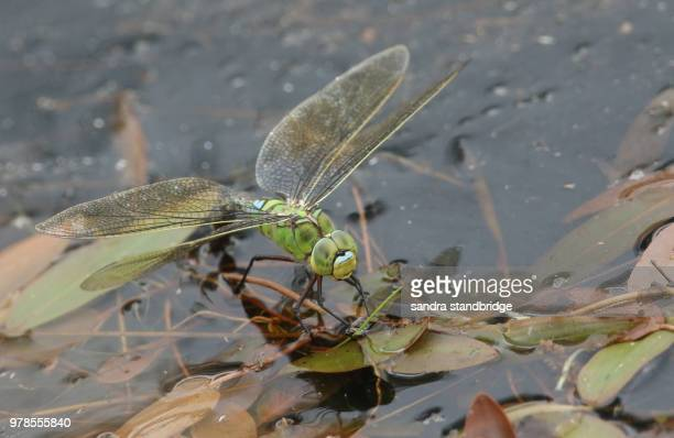 A stunning Emperor Dragonfly (Anax imperator) laying its eggs into a pond.