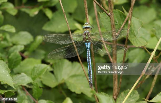 A stunning Emperor Dragonfly (Anax imperator) perched on the stem of a plant.