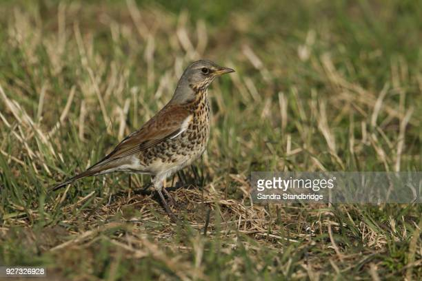 a stunning fieldfare (turdus pilaris) perched on the ground searching for earthworms and insects to eat. - lijster stockfoto's en -beelden